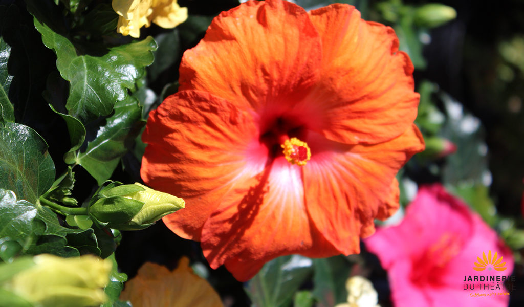 La couleur au jardin, l'hibiscus orange