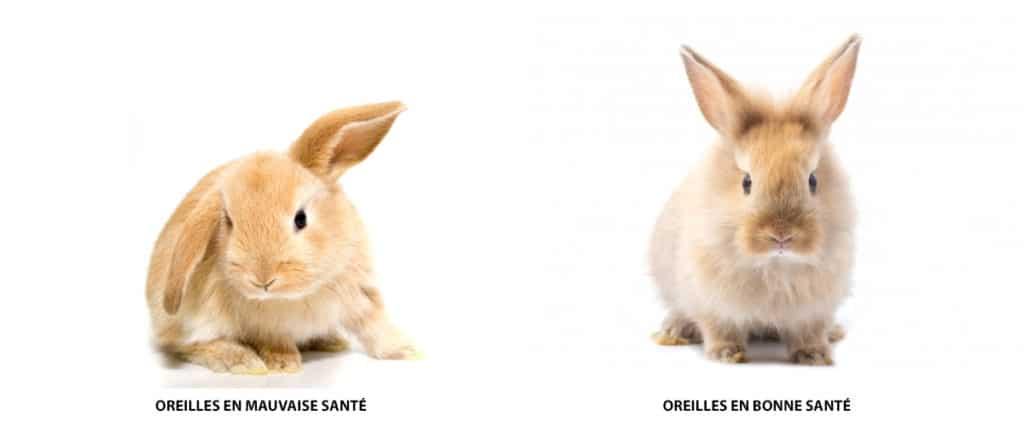 Signe de la bonne ou mauvaise santé des oreilles de lapin