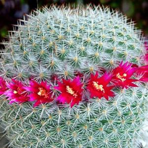 Cactus Mammillaria avec Bloe