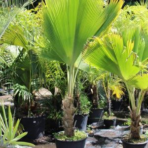 Palmier Fidji Fan