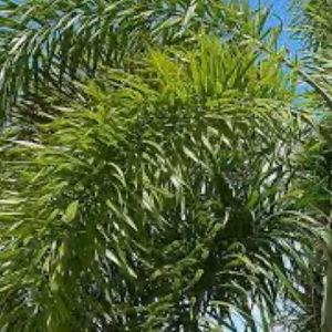 Palmier Queue de Renard