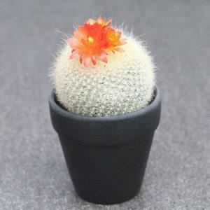 Cactus Notocactus Haselbergii
