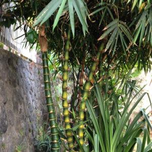 Bambou Boudha