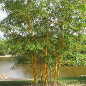 Bambou Golden