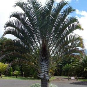 Palmier trièdre ou palmier triangle