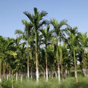Palmier à bétel ou Areca catechu