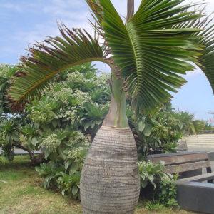 Palmier bonbonne ou palmier bouteille