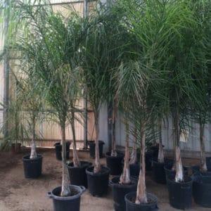 Palmier de la reine ou cocotier plumeux