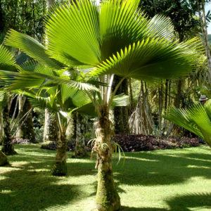 Licuala grandis ou palmier cuillère