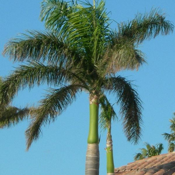 Palmier royal
