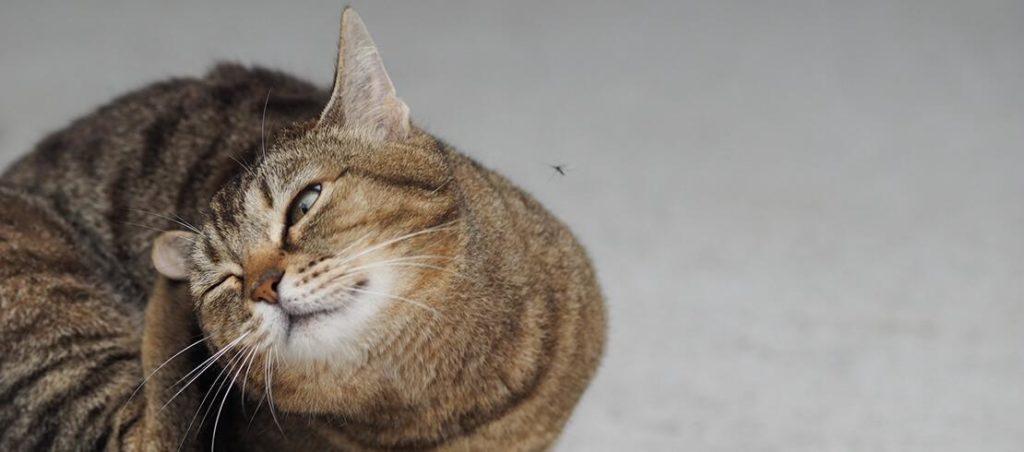 Votre chat se gratte, il a certainement des puces